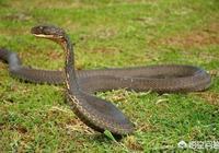 農村老人說過山風蛇會追著人跑,在野外遇到了怎麼辦?