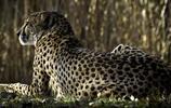 動物圖集:豹子