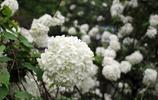 湖南衡陽嶽屏公園木繡球花團錦簇