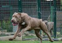 中國漢代名犬,享有中國第一斗犬的美譽,如今防暴功能完爆羅威納