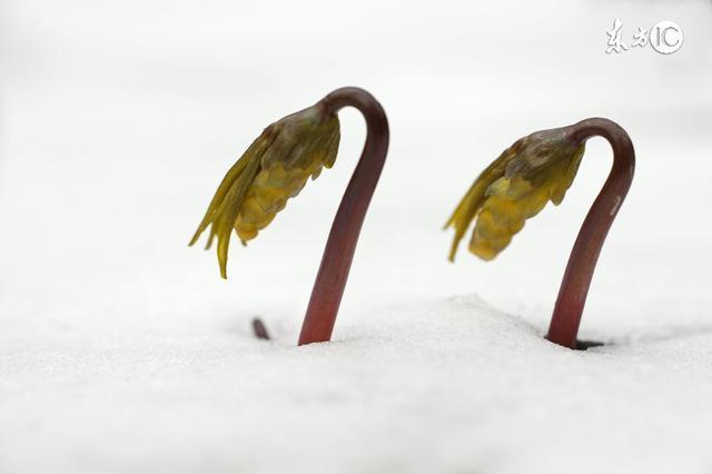 紅塵陌上雪,散落隨花開(古文)