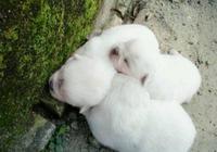 早上跑步時候,在路邊發現3只小白狗,帶回家後發現自己賺大了!