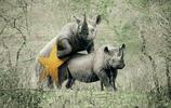 最大的犀牛