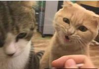 虎斑貓生病主人給它喂藥,旁邊橘貓吃醋了,主人:你有病吧