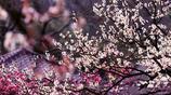 中國10大最美的梅園,無錫梅園第二,南京梅花山第三,你去過嗎?