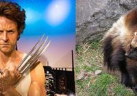 飾演金剛狼之後,休·傑克曼才知道金剛狼不是狼,是狼獾