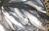 動物圖集:鯖魚