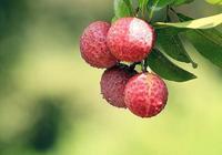 荔枝種植前期懶得管理,一直未出花,想補救該怎麼辦?