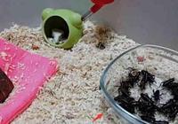 拿50只活的蟋蟀嚇倉鼠,結果蟋蟀悲劇了,倉鼠:真香啊!