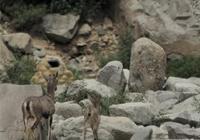 陡峭的懸崖岩羊是怎麼爬上去的?