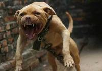 哪種狗最凶猛?十大狗狗暴力排行榜!你敢養嗎?
