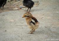土雞必備:土雞養殖有捷徑,養雞掙錢不生病