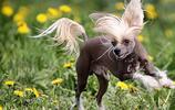 地球上10大最不易掉毛的狗狗,中國冠毛犬上榜,你喜歡哪一種?