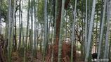 冬筍挖完了會不會影響來年長竹子呢?答案是這樣的,你知道嗎