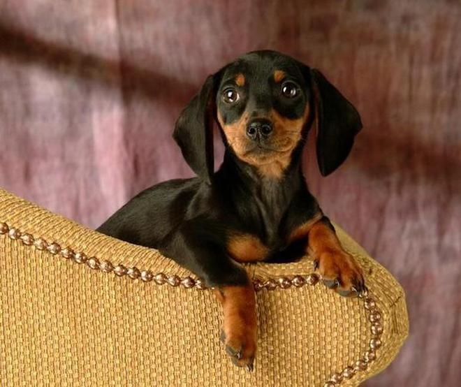 地球上10大最長壽的寵物狗,貴賓第三,吉娃娃第七,你養了嗎?