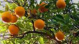 又到了吃橙子的季節了,橙子竟然有這麼多益處,你知道嗎?