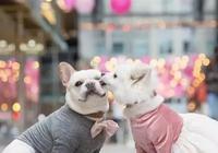 大愛萌寵控第1033:看看他們的婚紗照