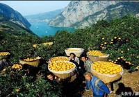 有一種辛福是在春天也能吃到的鮮橙,倫晚臍橙