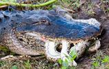 鱷魚與蟒蛇的生死情仇