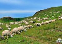 為什麼有人覺得內蒙古的黑頭羊不羶?