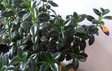 """金魚吊蘭,金魚""""遊""""在綠葉間"""