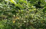 實拍:從小就吃山核桃,那你知道長在樹上的山核桃是什麼樣子的嗎