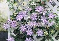這花開得又大又豔,一點不輸月季,十幾個品種隨你挑!