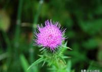 農村這種植物開花很好看,殊不知其能入藥,價值極高要珍惜