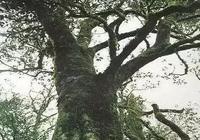 「茶學堂」你知道世界上最老的茶樹嗎?深度剖析茶樹!