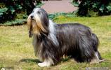 """世界上最粘人的10種寵物狗,每一隻都是甜蜜的""""負擔"""""""