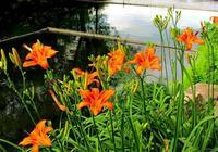 本溪水洞湖前萱草  獻給母親節的古詩詞