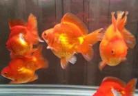 任何觀賞魚都是需要吃飯的,不按時餵魚可能養好觀賞魚嗎?