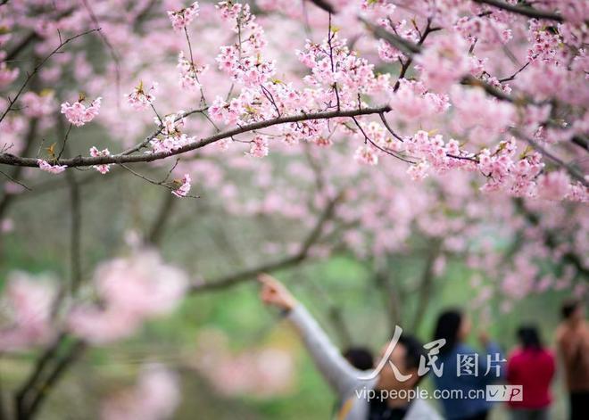 南京:大美春光無限好 粉色櫻花醉遊人