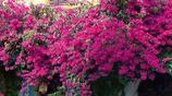 8大一開花就成瀑布的爬藤植物,現在種一個月陽臺變小花園
