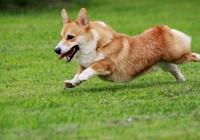 買一隻柯基犬需要多少錢?