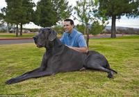世界上最凶猛的犬之大丹犬