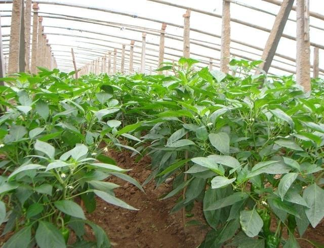 農戶種植辣椒,不要忽視了辣椒重茬、辣椒定植密度、辣椒施肥、辣椒澆水,這四項科學管理方法