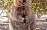 動物攝影之有甜美笑容的短尾矮袋鼠,被萌翻,怎麼可以那麼萌?