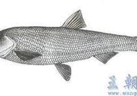 滇池小白魚