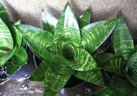 虎尾蘭種類及日常養護方法