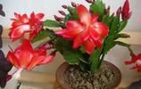 植物美圖:蟹爪蘭