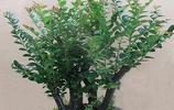 """在花卉市場很難買到的綠植,有收藏價值,被人們稱之為""""帝王之樹"""""""