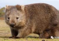 屎學研究:蠢萌的袋熊,到底為什麼能拉出方形的粑粑?!