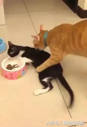 說起最慘的貓,就是和橘貓一起生活的貓!