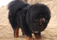 世界6大最難馴服的狗狗,養狗的話,勸你不要在這裡挑選!