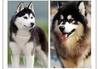 如何區分哈士奇和阿拉斯加雪橇犬?
