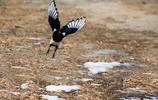 動物圖集:喜鵲