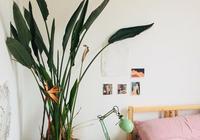 天堂鳥養成室內的觀葉植物,用這6個技巧就能促進孕育花朵