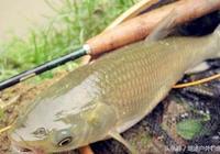 夏季如何釣好草魚及草魚餌料選擇技巧