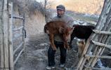 甘肅老農深山養牛11載,住窯洞喝泉水,最發愁的是錢花不出去